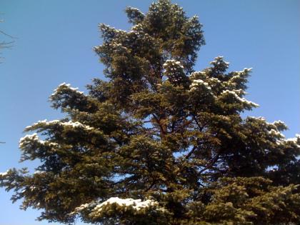 樅の木も雪化粧